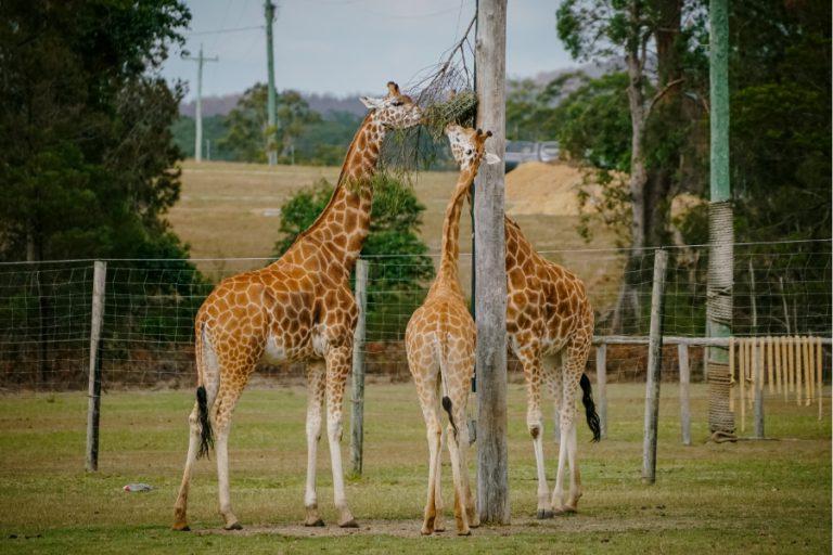 Giraffe-4@2x